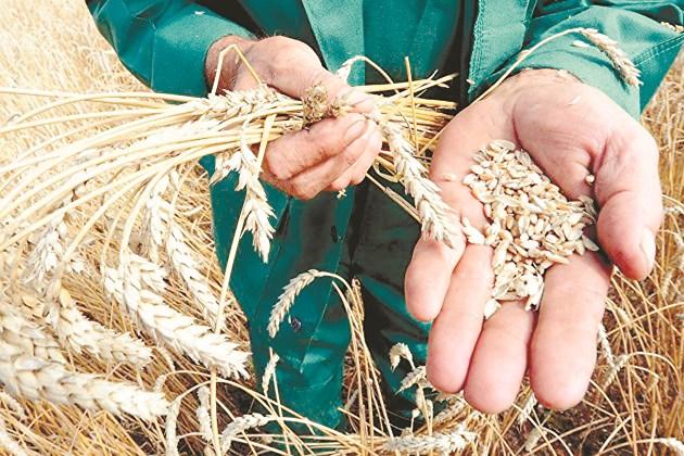 Прогнозите за реколтата от пшеница у нас засега са за 5,6-5,8 млн. т
