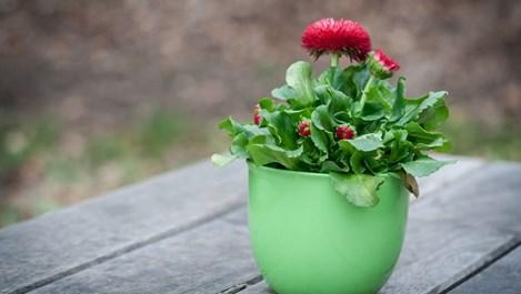 Какви торове да използваме за саксийните цветя