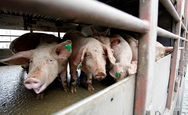 Чумата влезе в свинеферма със 17 хил. животни (Обзор)