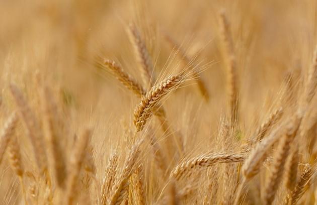 На Софийската стокова борса хлебната пшеница се търсеше на 340.00-350.00 лв/тон