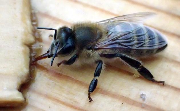 Учени нищят смъртта на пчелите