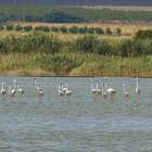 Най-високата численост на розово фламинго в България - ято от 159 птици в Атанасовското езеро (Видео)