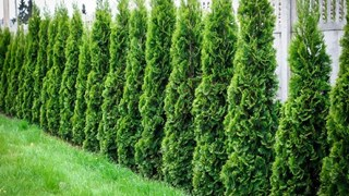Подходящи растения за жив плет