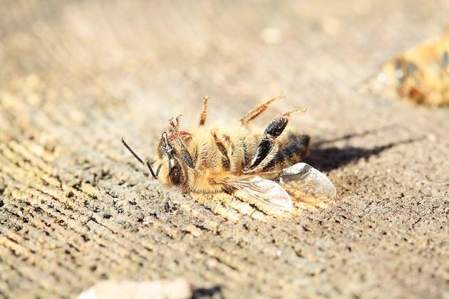 Водните безгръбначни и опрашителите, като медоносните пчели, все още изпитват обратен ефект: въпреки намаляването на използваните количества, токсичността за тези видове се е увеличила повече от два пъти между 2005 и 2015 г.