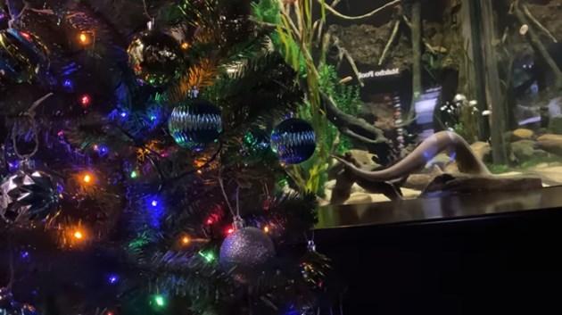 Електрическа змиорка в аквариум светва коледно дърво (Видео)