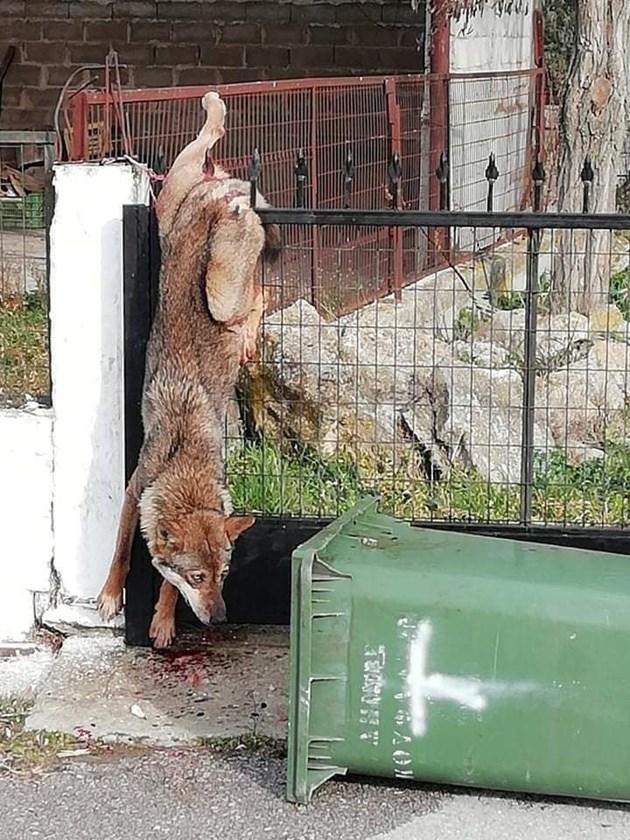 Вълк увисна на ограда