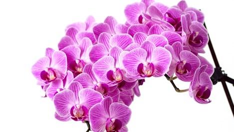 Домашни рецепти срещу неприятелите на орхидеите
