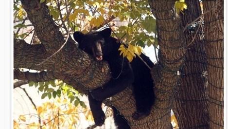 Мечок се разхождал по улиците на Ню Джърси, заспал на дърво в градския парк (Видео)
