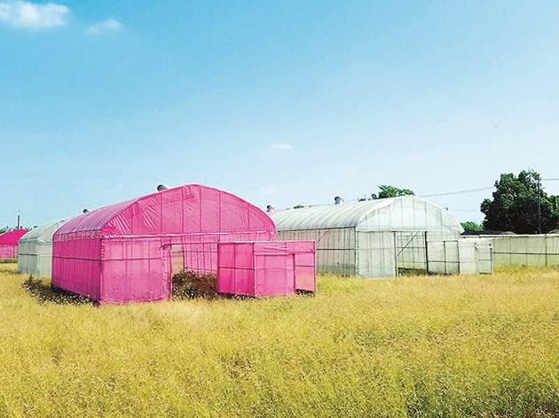 Разсадът от домати, отглеждан в къщата от лилава мрежа, нараства значително по-високо, отколкото в тези с бяла мрежа и на открито - съответно със 7% и 33%  Снимка: Морийн Мекоци