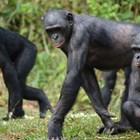 Майките на шимпанзета помагат при сношение