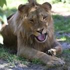 Оперираха лъва Масуд