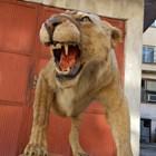 Откриха препариран лъв без документи