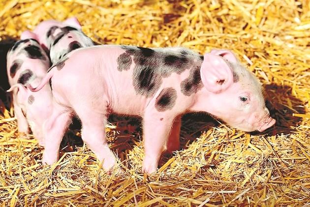 Новата свинеферма е за угояване на 1300 прасета. Във Финландия е забранено купирането на опашките.
