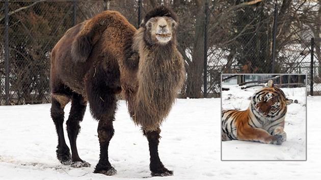 Камилите с кожуси в студа