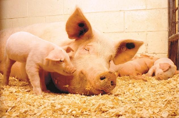 Преди да започне с билките фермерът е плащал на ветеринарния лекар повече от 65 евро/свиня майка за година за живи ваксини.