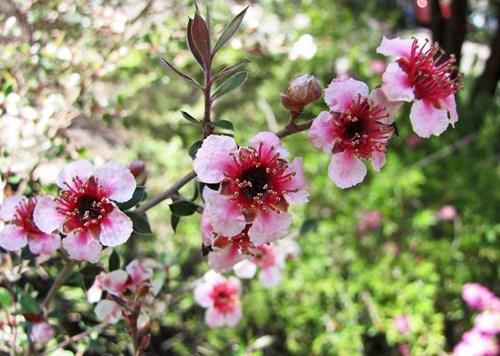 Новозеландско чаено дърво за бодрост и украса