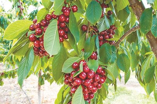 Български сортове череши