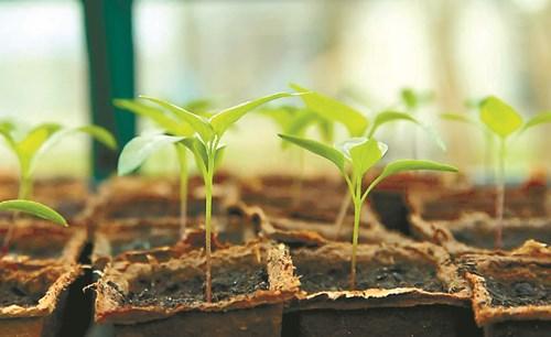 Сеят се разсадите за масово производство