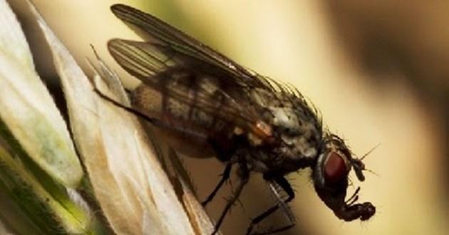 Черна пшеничена муха