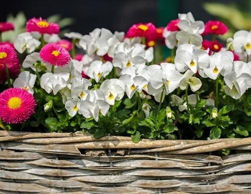 Разбудете многогодишните цветя