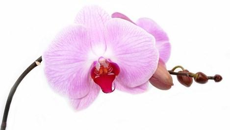 6 причини, поради които орхидеята не цъфти