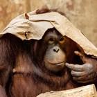 Руски турист се опита да пренесе орангутан  в куфар на остров Бали