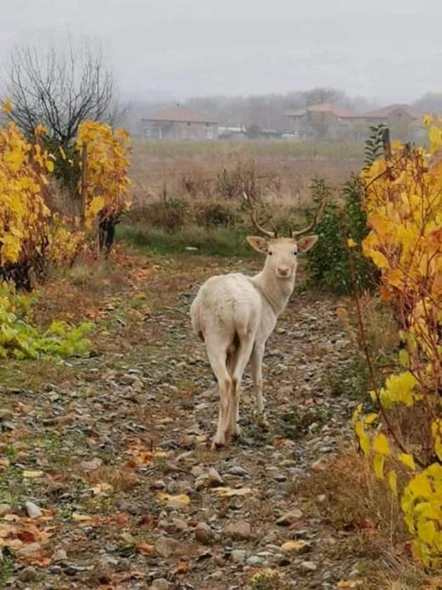 Белият елен още на свобода, тича с брат си