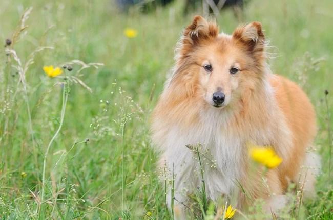 Шетландска овчарка