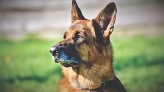 Най-умните в света породи кучета (Снимки)