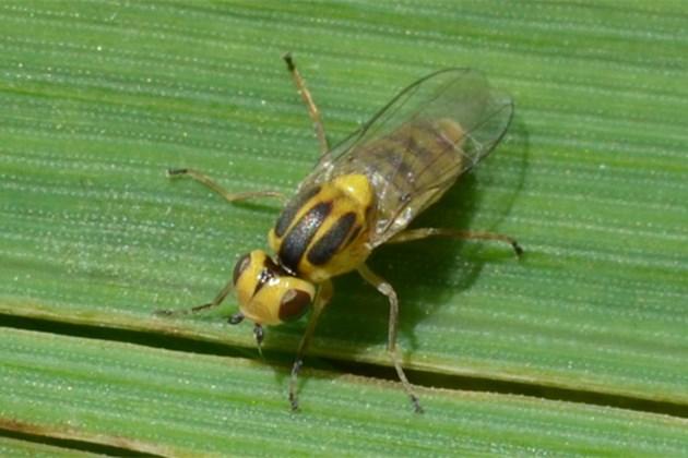 Житна стъблена муха