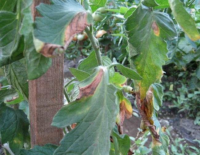 Дъждовното време заплашва и реколтата от домати, защото носи болести по тях.