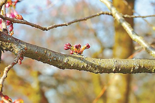 Смолотечение се наблюдава по клоните и стволовете на дръвчетата. Най-често се среща при костилковите видове.