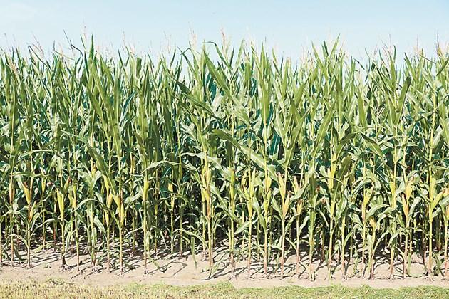 През последните години западният коренов червей стана важен неприятел за царевицата