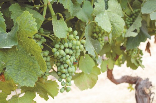 Наесен е важна дозата калий, за да не бъде гроздето дребно
