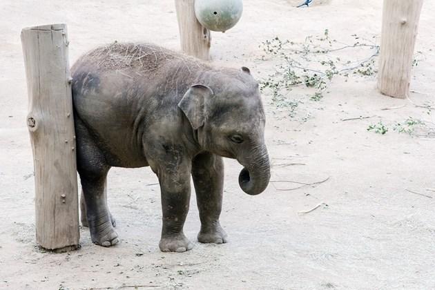 Слонове-джуджета са живели преди 800 000 години