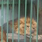 Лъвът Любо с прерязана артерия