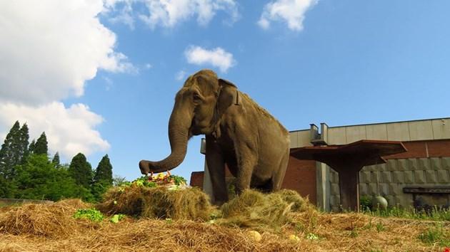 Торта гигант за слоницата Артайда