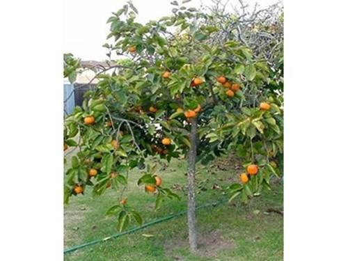 Плодовете на райската ябълка узряват през втората половина на октомври