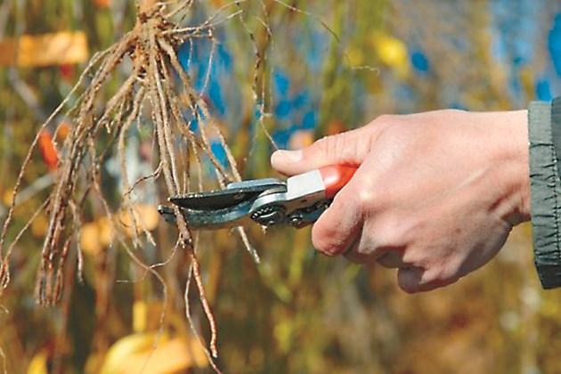 Като се извади лозата от старото място трябва да се прецени внимателно кореновата й система и тогава да се действа