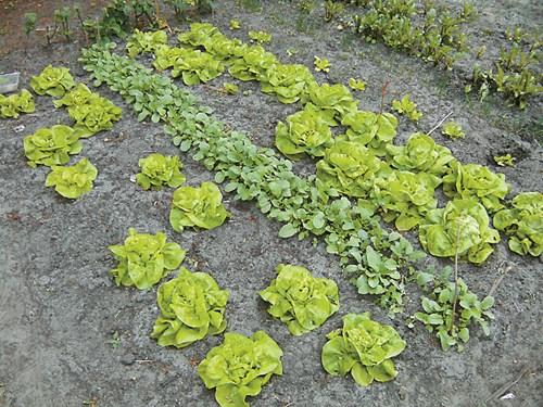 Актуално в зеленчуковите лехи