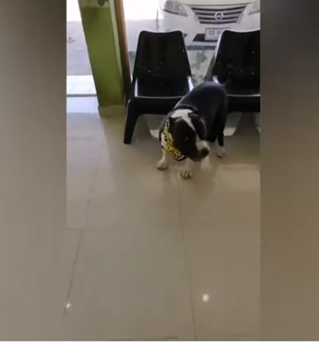 Ветеринари извадиха 32 гумени патета от булдог (Видео)
