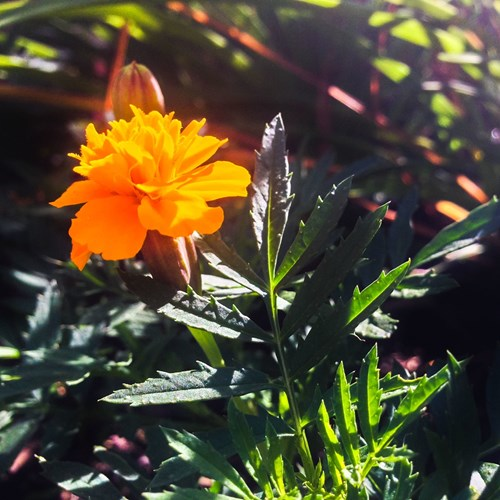 13 причини да засадите тагетес