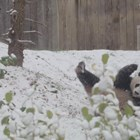 Пандата Бей Бей щастлива от първия сняг във Вашингтон (Снимки+видео)