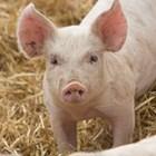 Бой за прасета в Ахелой