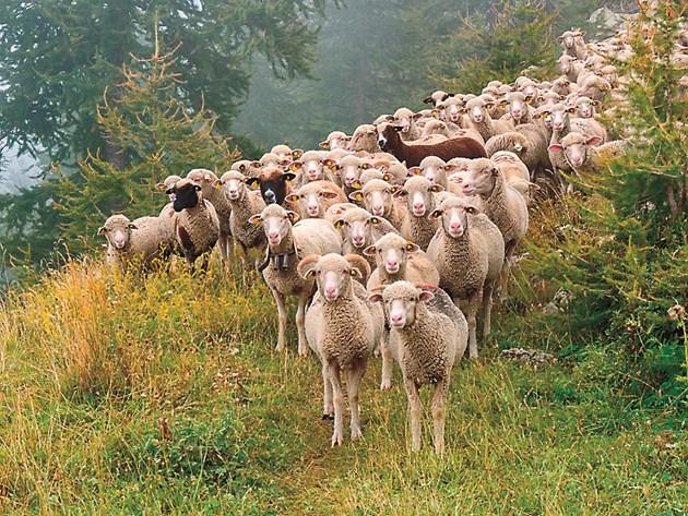 От кочовете зависи успешното заплождане на овцете, които в сборните селски стада са 30-40 глави
