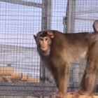 Маймуната Алф с личен телевизор