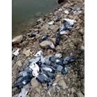 Мистерия с масов мор на гълъби
