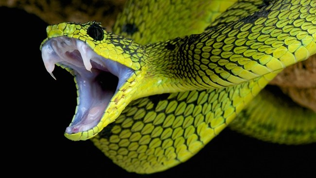 2 Офидиофобия (страх от змии) – Ето това е фобия, която е по-добре, че я има. От влечугите няма по-смъртоносен вид от този на змиите. По-голямата част от тях на планетата са отровни, а известна част са и доста агресивни. Да, това им е защитен механизъм, но така или иначе опасността от нараняване в следствие на контакта ви със змия е доста плашещ момент. Е, има и змии, от които не бива да изпитваме ужас, но е добре, когато спазваме дистанция.