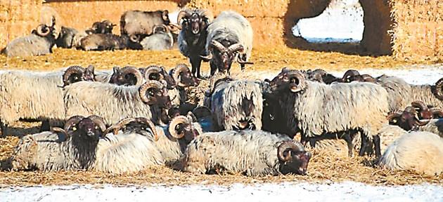 Препоръчително е наличните кочове да се сменят с други от отдалечени стада с цел избягване на стихийното родствено съешаване