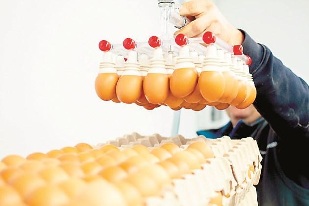 Специално селекционирани еднодневни разплодни пилета от най-високопродуктивни европейски хибриди вече дават по 55-60 яйца повече